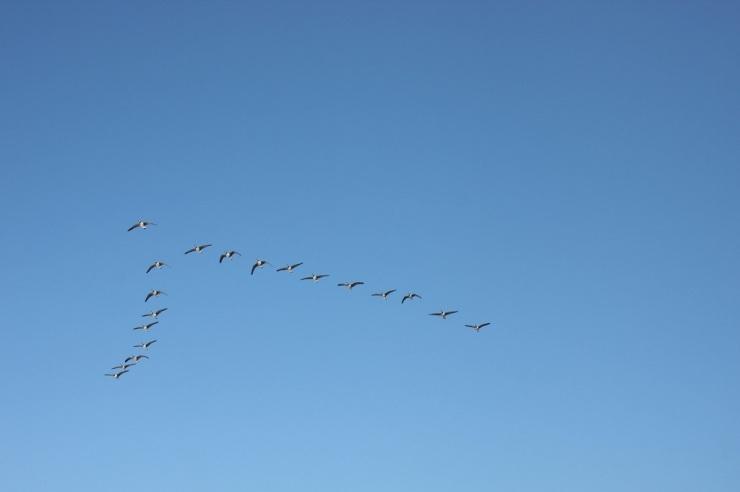 3-birds in flight-zoology